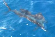 sailfish-puerto-vallarta-fishing-008
