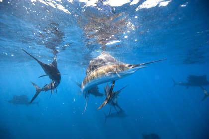 puerto_vallarta_sailfish