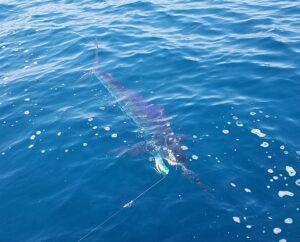 marlin fishing in nuevo vallarta