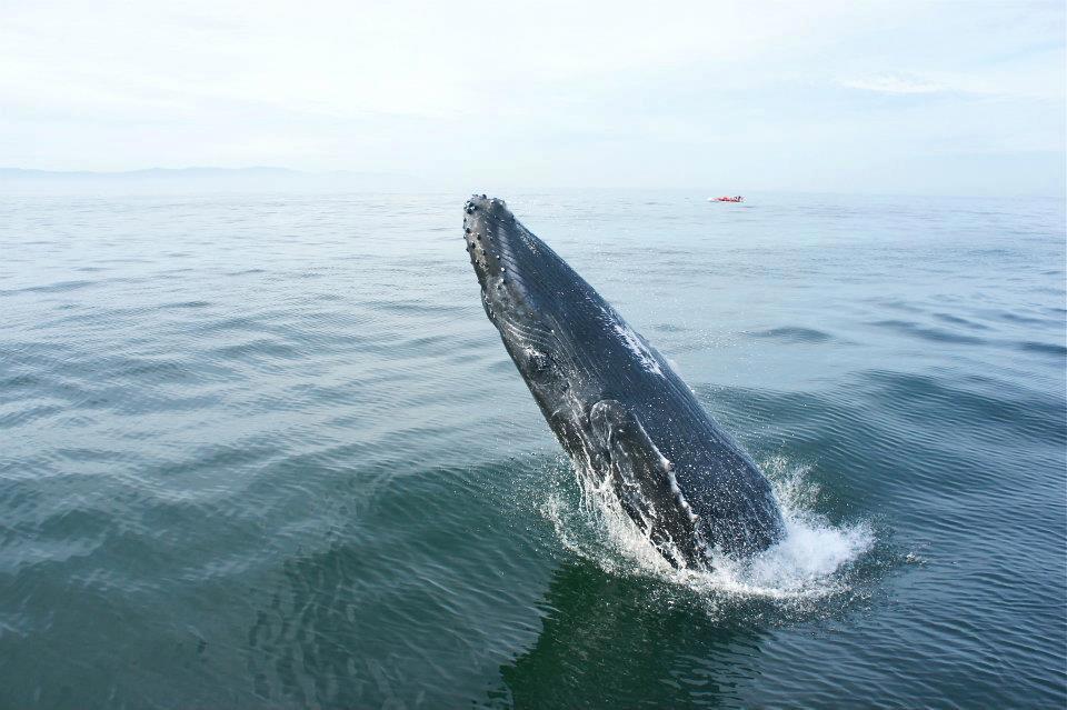 whale watching nuevo vallarta