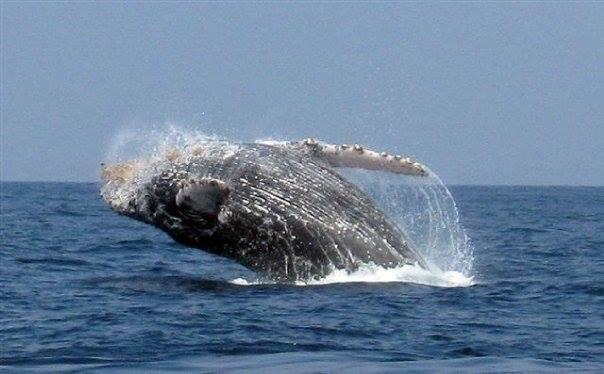 nuevo vallarta whale watching