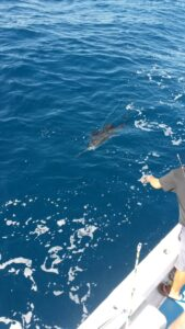 Sailfish about to be caught